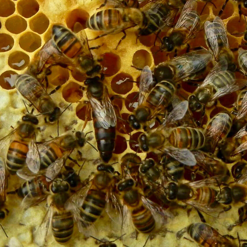 Bees on honey combs